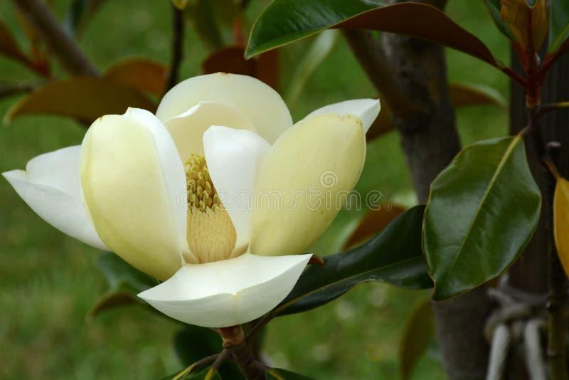 Floración del árbol de tulipán imágenes de archivo libres de regalías