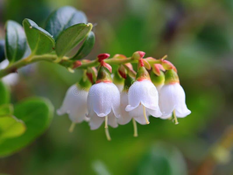 Floración del arándano imágenes de archivo libres de regalías