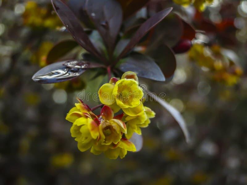Floración del bérbero Pequeñas flores amarillas hermosas del thunbergii Atropurpurea del Berberis en las ramas con licencia púrpu fotos de archivo