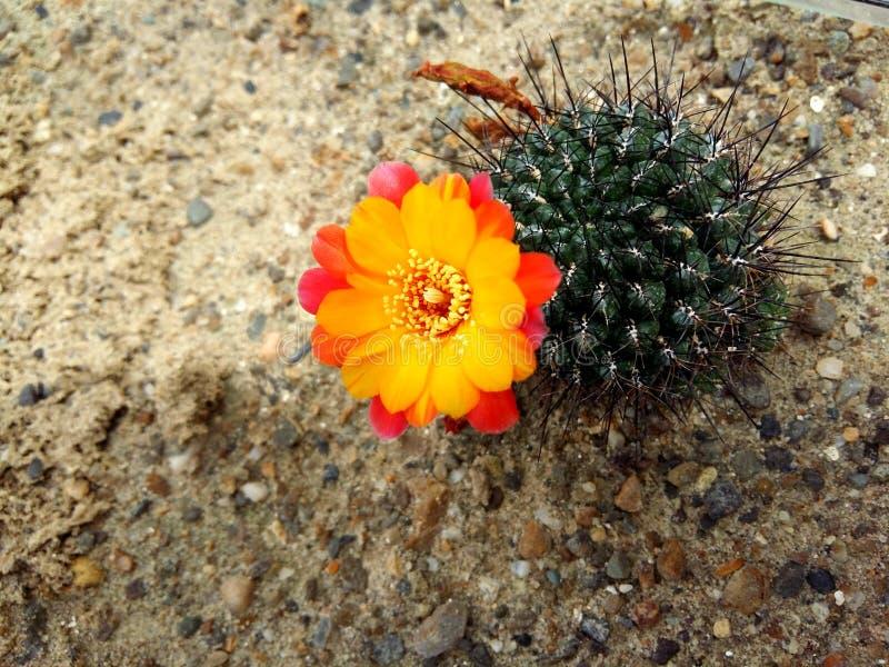 Floración del cactus fotos de archivo