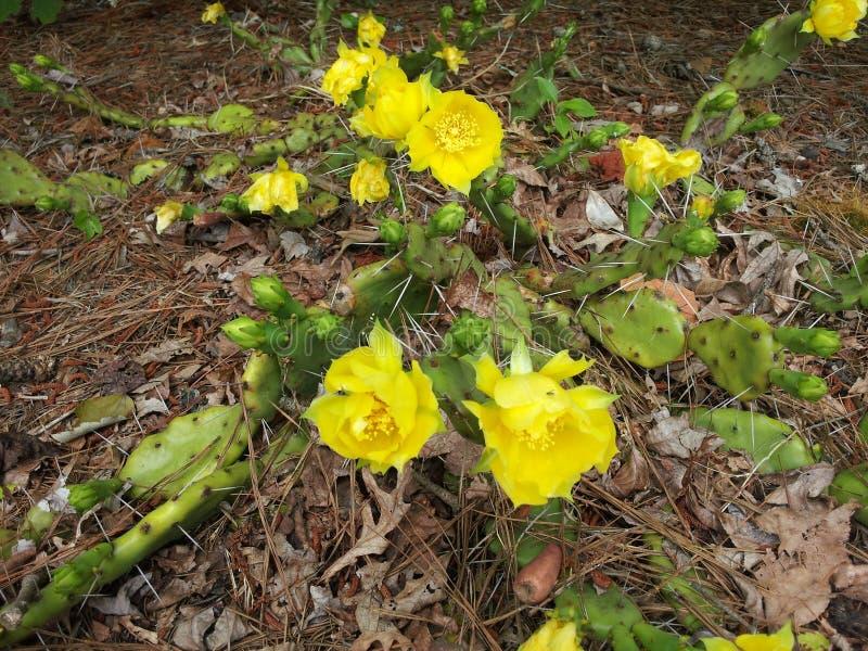 Floración del cactus imagen de archivo