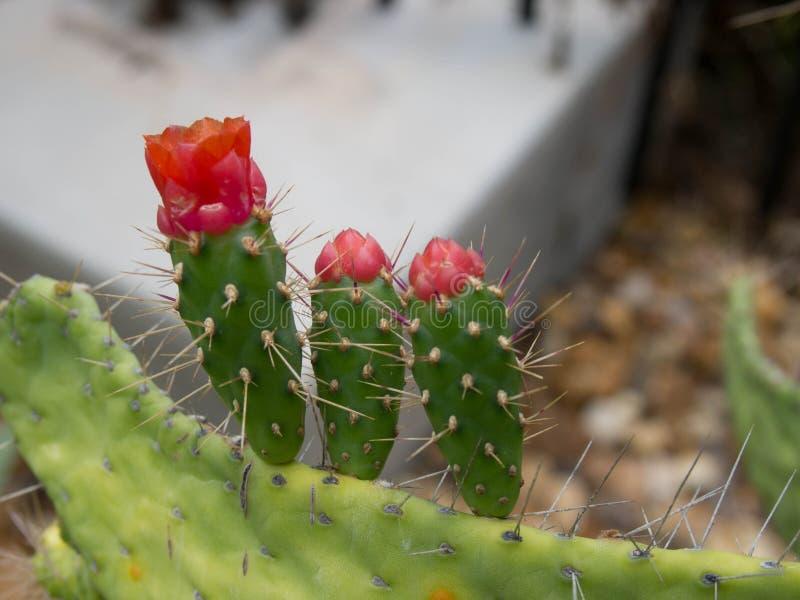 Floración del cactus imágenes de archivo libres de regalías