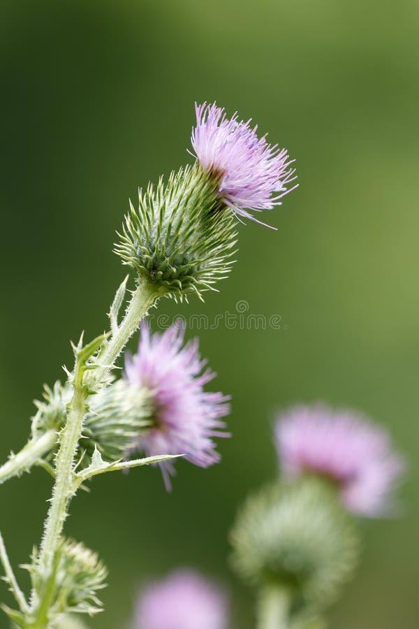 Floración del cardo fotografía de archivo