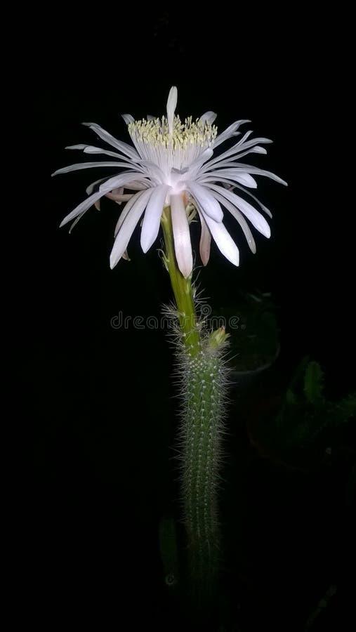 Floración del cirio foto de archivo