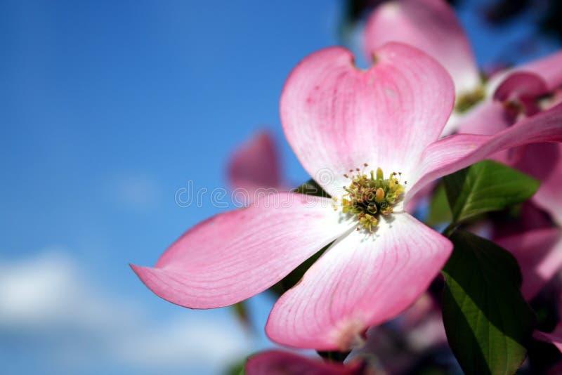 Floración del cornejo imagen de archivo