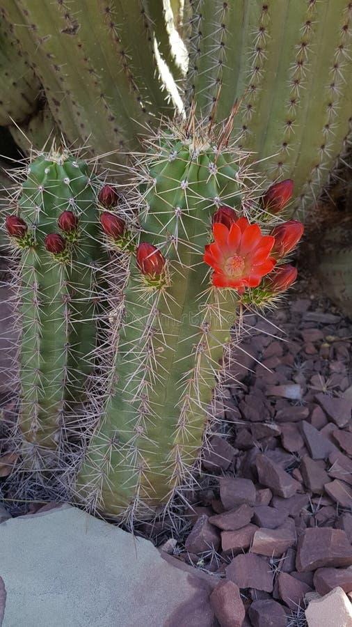 Floración del desierto fotografía de archivo