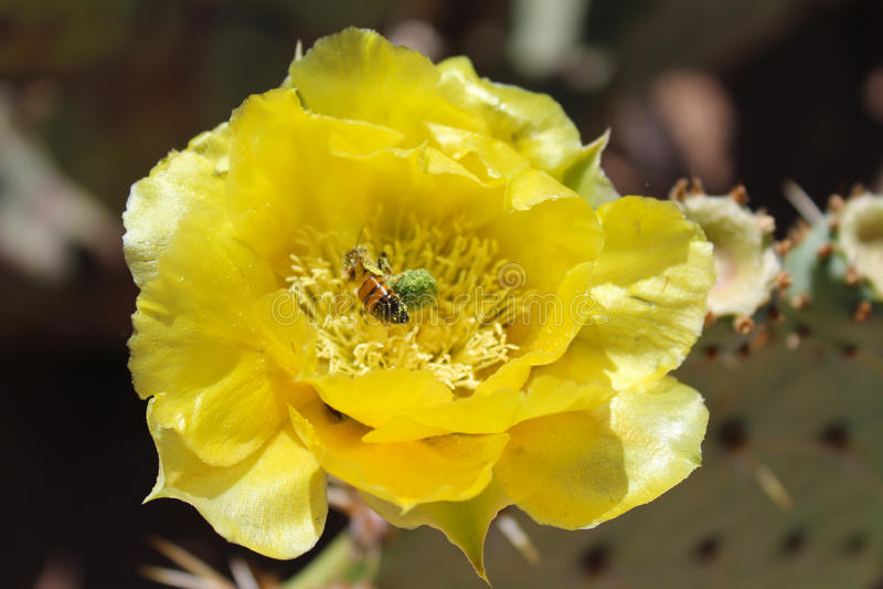 Floración del higo chumbo con Honey Bee fotos de archivo