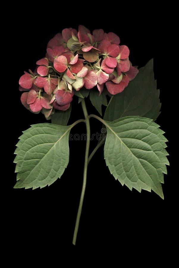 Floración del Hydrangea en negro imagenes de archivo