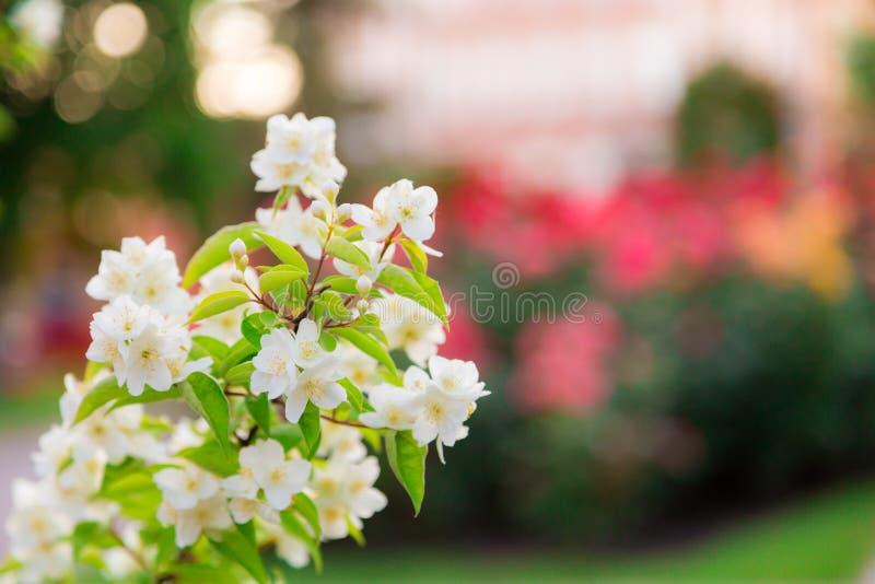 Floración del jardín de Chubushnik, o del jazmín en el parque Bush floreciente Flores blancas en el árbol Ramifique en un fondo c fotos de archivo