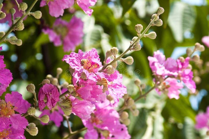 Floración del Lagerstroemia fotografía de archivo