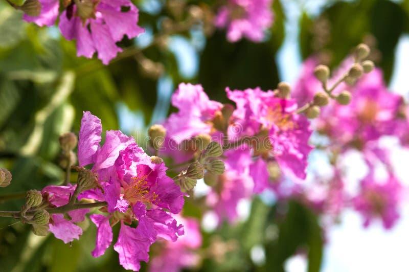 Floración del Lagerstroemia fotos de archivo libres de regalías