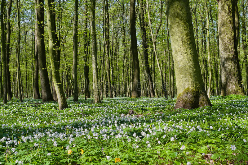 Floración del nemorosa de la anémona en bosque de la primavera fotos de archivo