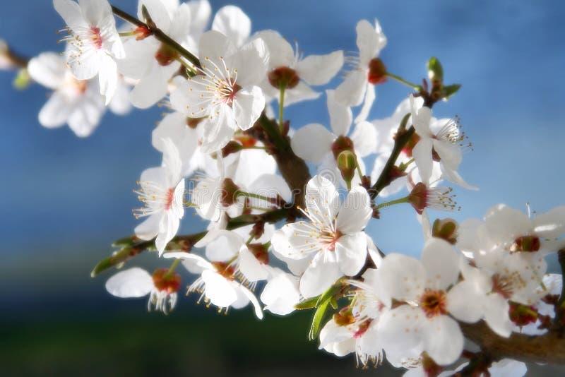 Floración del resorte fotografía de archivo
