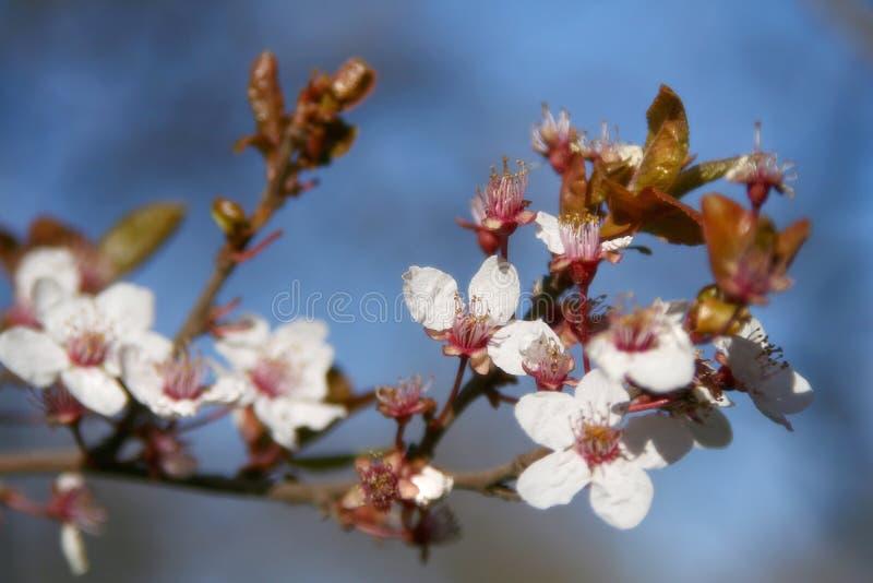 Floración del resorte imagenes de archivo