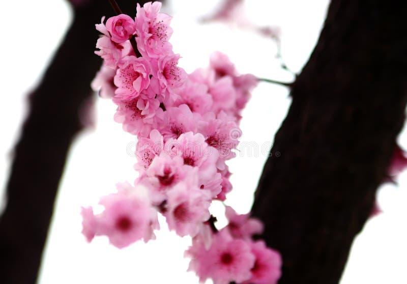 Floración del resorte foto de archivo