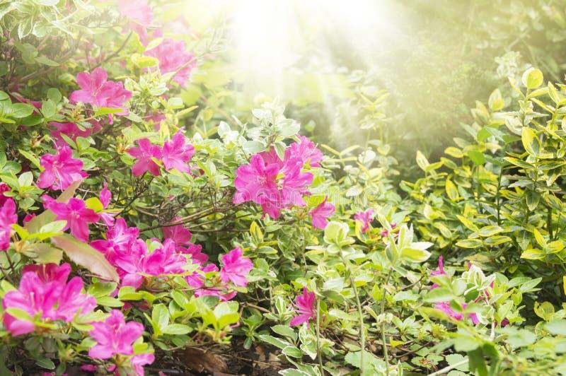 Floración del rododendro en jardín imagenes de archivo