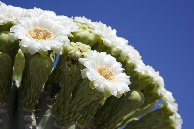 Floración del Saguaro foto de archivo