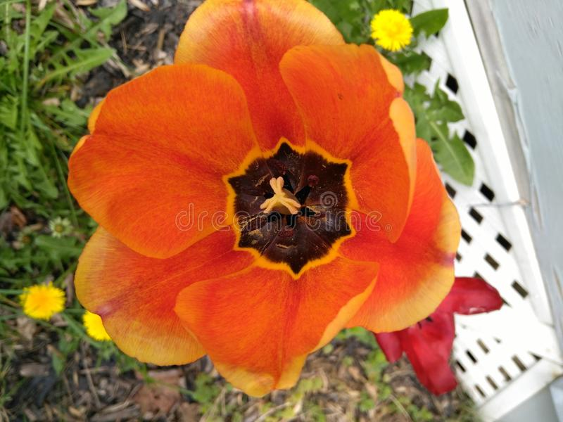 Floración del tulipán de la primavera fotos de archivo libres de regalías