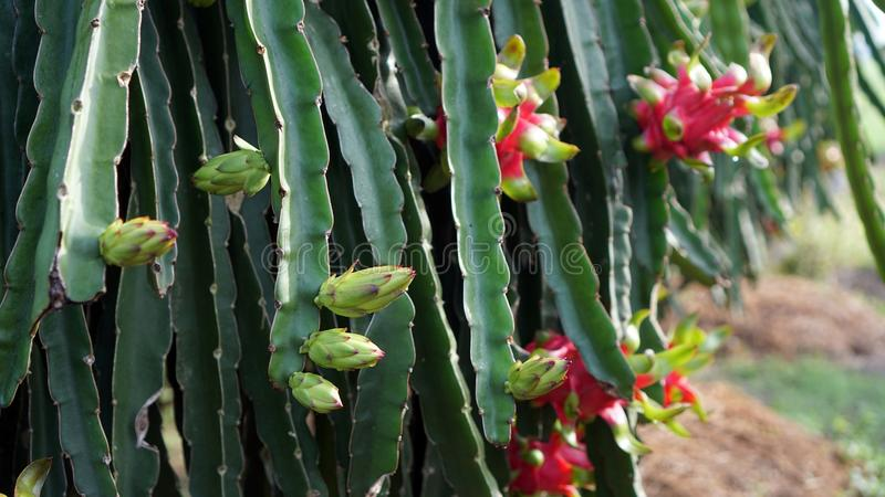 Floración Dragon Fruit - Tam Binh Vinh Long Vietnam imagen de archivo libre de regalías