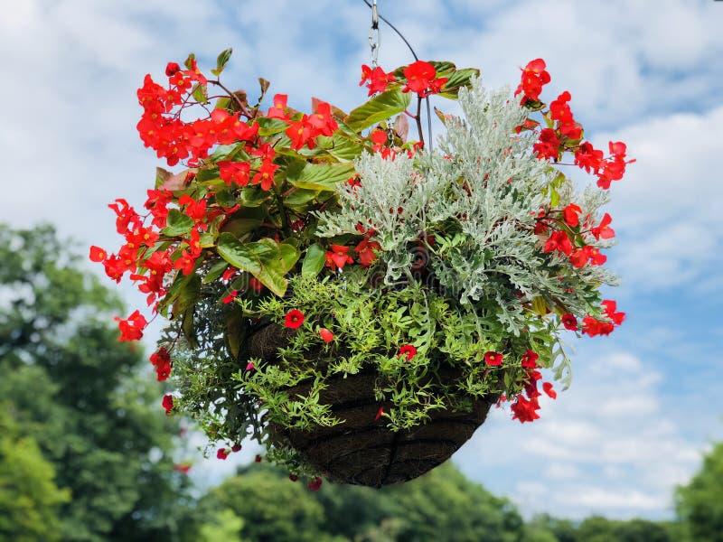 Floración en conserva de las flores de los semperflorens de la begonia fotos de archivo libres de regalías