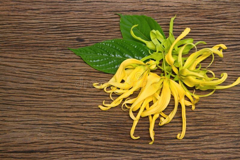 Floración enana de la flor del Ylang-Ylang imágenes de archivo libres de regalías