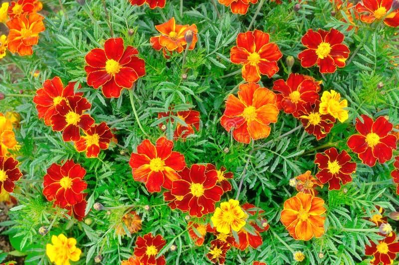 Floración flores amarillas y rojas de la maravilla en día nublado del verano foto de archivo libre de regalías