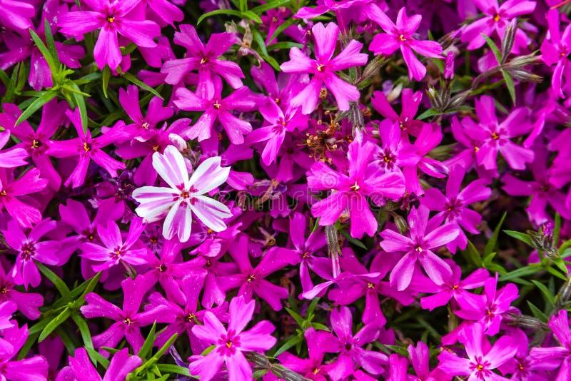 Floración flores rosadas y blancas del polemonio fotos de archivo