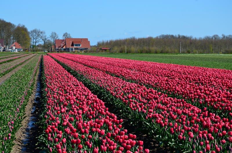 Floración fucsia de los campos del tulipán imagen de archivo