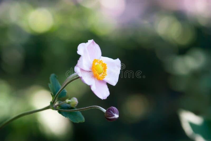 Floración japonesa rosa clara del Windflower imágenes de archivo libres de regalías