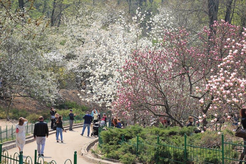 Floración magnífica de la magnolia en primavera foto de archivo