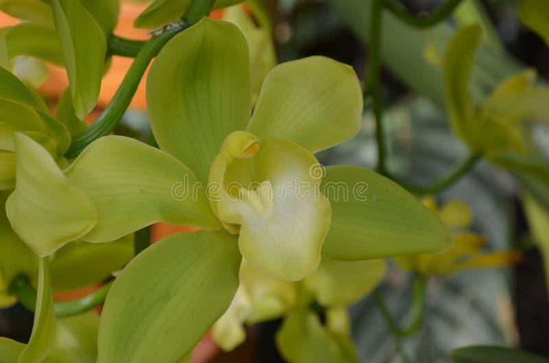 Floración muy bastante inusual de la orquídea del verde lima imagen de archivo