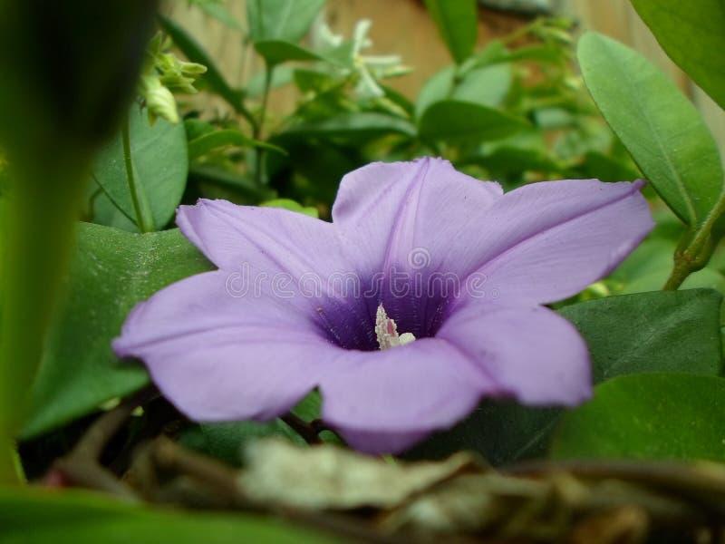 Floración púrpura imágenes de archivo libres de regalías
