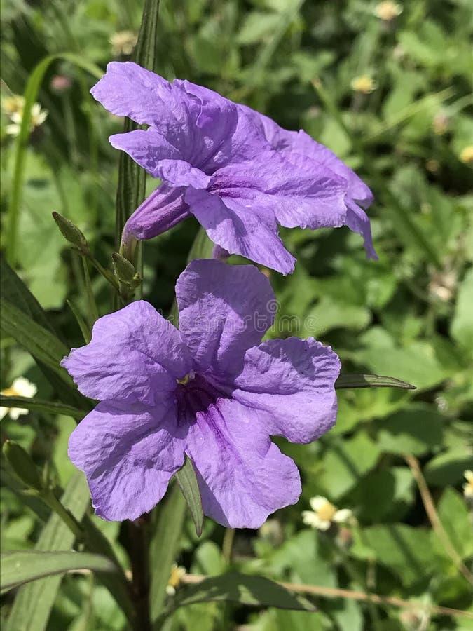 Floración púrpura foto de archivo libre de regalías
