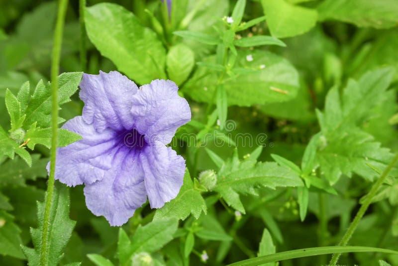 Floración púrpura de la flor de los ruellias por la mañana imagen de archivo