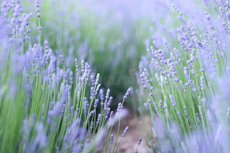 Floración púrpura de las flores de la lavanda imágenes de archivo libres de regalías