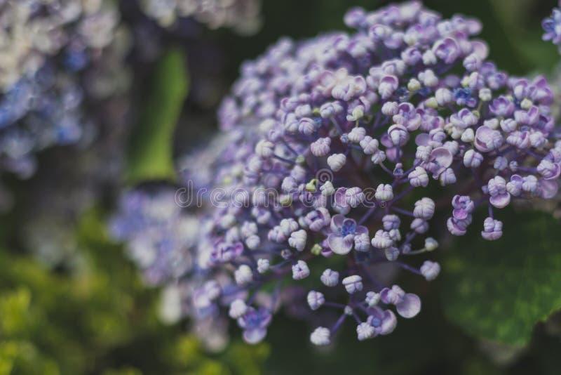 Floración purpúrea clara de la hortensia fotografía de archivo