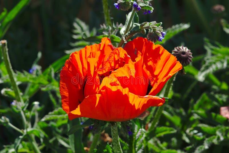 Floración roja de la flor de la amapola foto de archivo libre de regalías