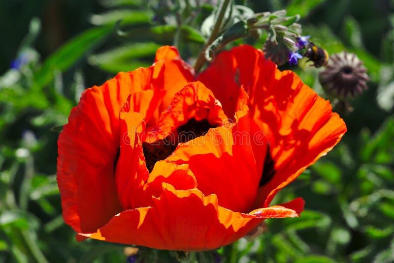 Floración roja de la flor de la amapola imagen de archivo