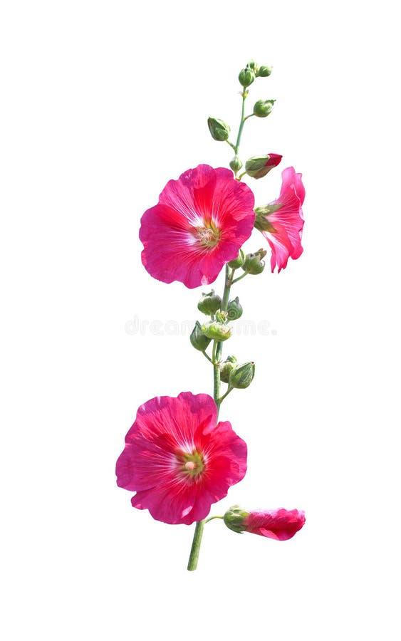 Floración roja de la inflorescencia o rosada colorida dulce del rosea del Alcea de la malvarrosa y flores verdes del brote con el imagen de archivo