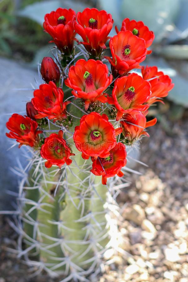 Floración roja de las flores del cactus imágenes de archivo libres de regalías