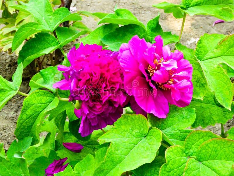 Floración roja púrpura de las flores de la peonía foto de archivo