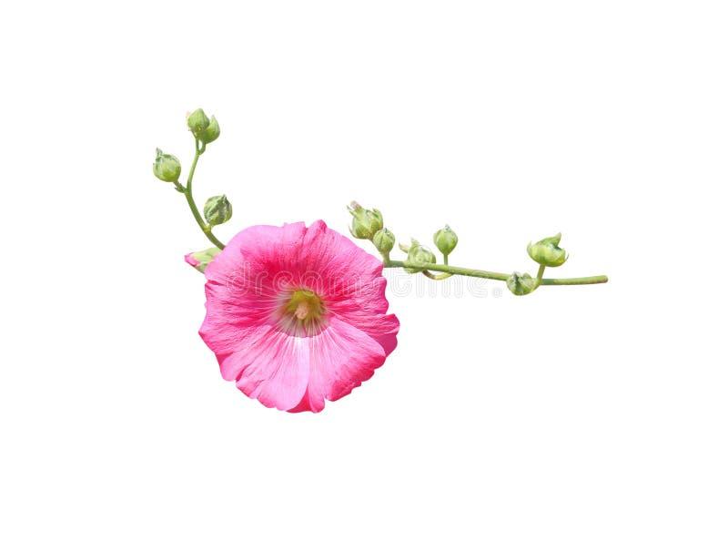 Floración rosada colorida dulce del rosea del Alcea de la malvarrosa de la inflorescencia y flores verdes del brote con el tronco fotos de archivo libres de regalías