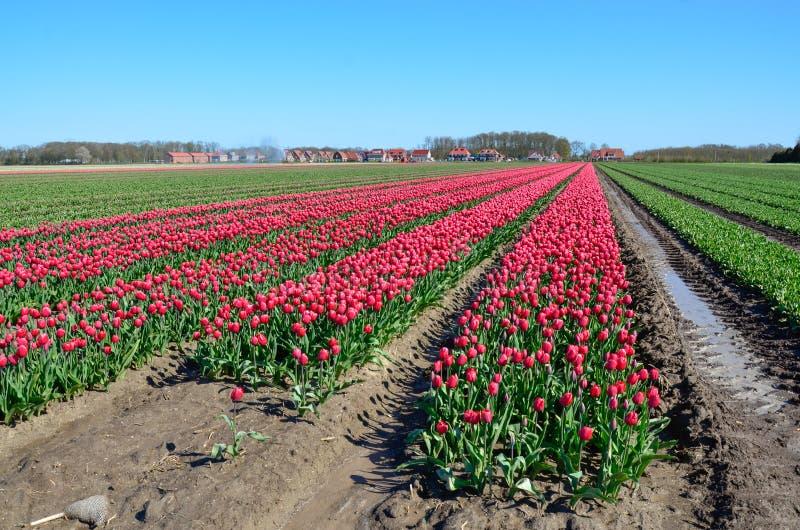 Floración rosada de los tulipanes fotos de archivo libres de regalías