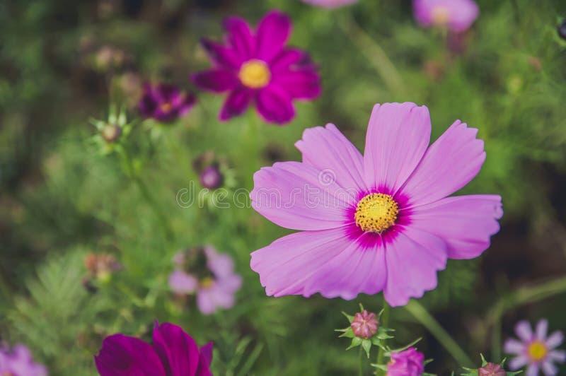 Floración rosada de Moscos fotos de archivo