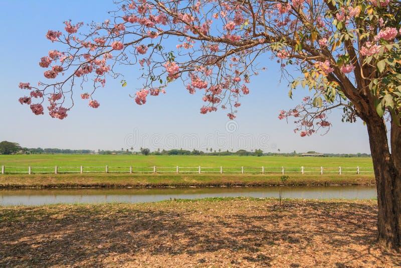Floración rosada del árbol de trompeta imágenes de archivo libres de regalías