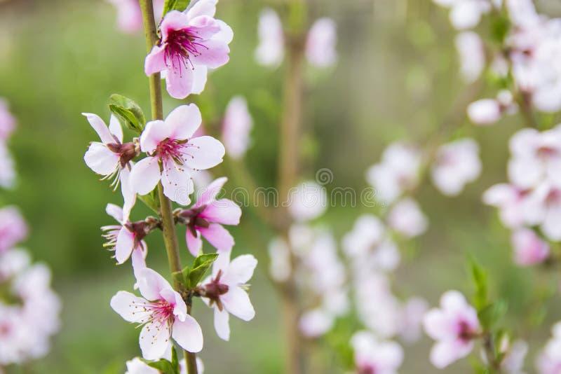 Floración rosada hermosa del melocotón imagen de archivo