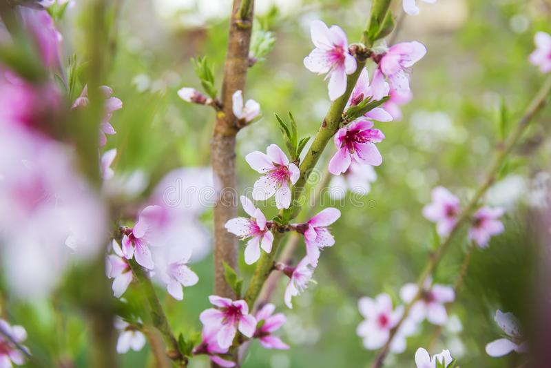 Floración rosada hermosa del melocotón imagenes de archivo