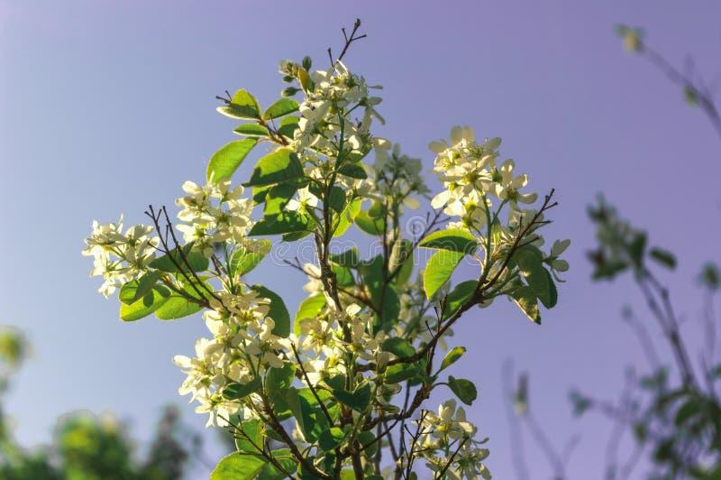 Floración salvaje del arbusto de las bayas de la primavera del verano de la estación foto de archivo libre de regalías