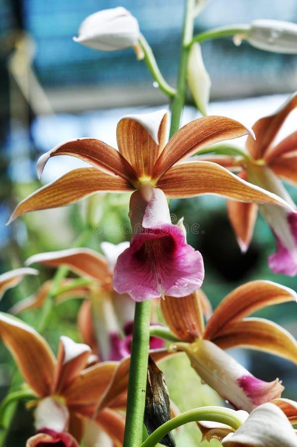 Floración salvaje del cattlyea de la orquídea imágenes de archivo libres de regalías