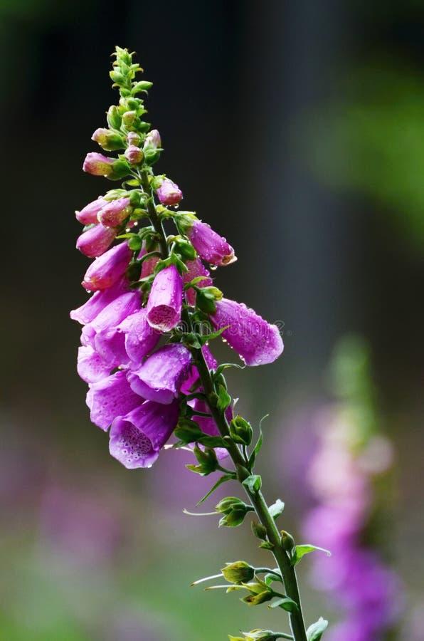 Floración ultravioleta de la dedalera en verano fotos de archivo